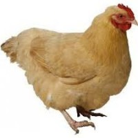 Live Chicken Medium Broiler